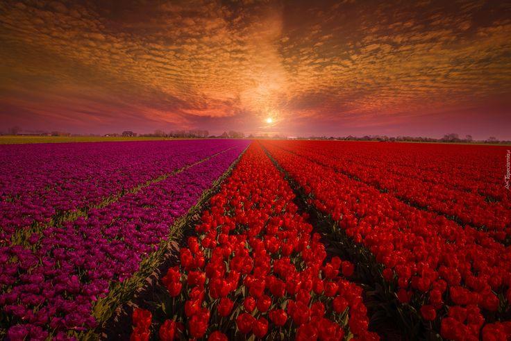 Zachód słońca, Tulipany, Pole, Uprawa