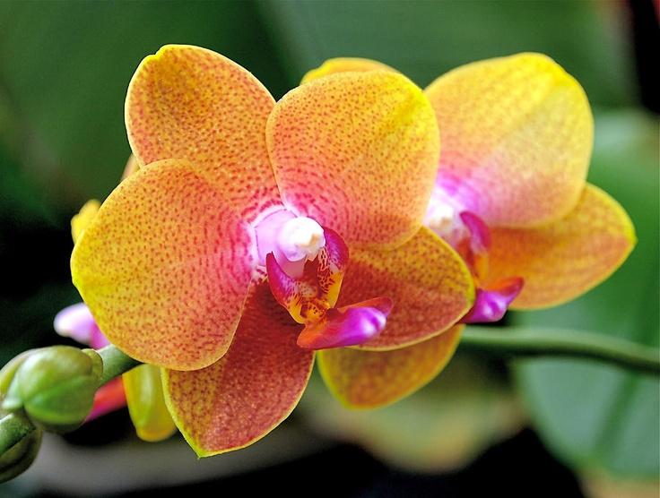 Pink  amp  Yellow orchidsYellow Orchids Flowers