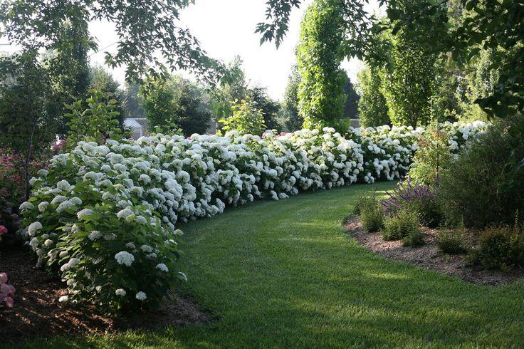 Incrediball®+-+Smooth+Hydrangea+-+Hydrangea+arborescens