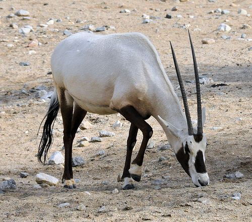The Living Desert: Arabian Oryx (Unicorn of the Desert) by ...