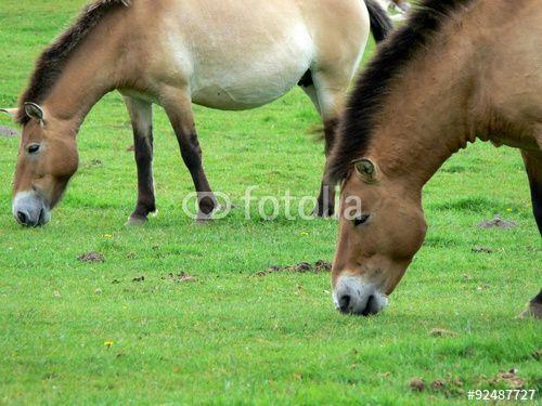 """Laden Sie das lizenzfreie Foto """"Das Przewalski-Pferd - ein Wildpferd"""" von Nicolette Wollentin zum günstigen Preis auf Fotolia.com herunter. Stöbern Sie in unserer Bilddatenbank und finden Sie schnell das perfekte Stockfoto für Ihr Marketing-Projekt!"""