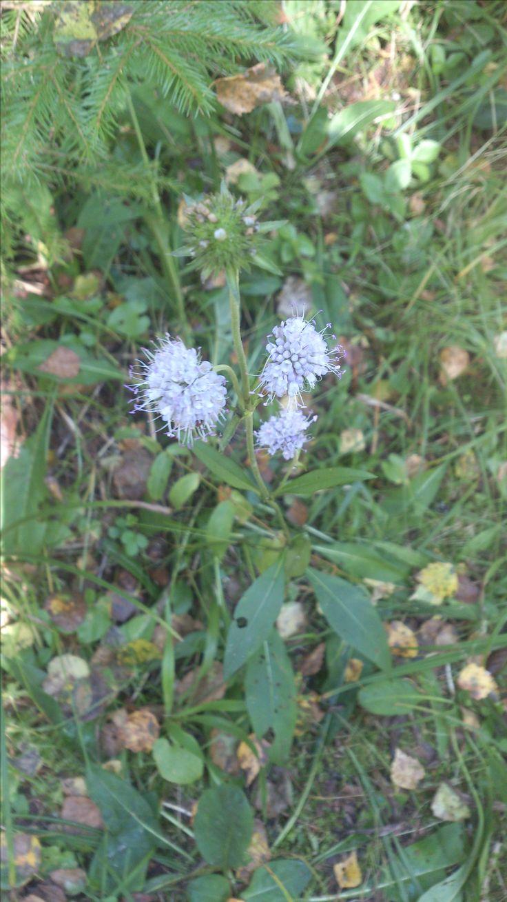 Сивец луговой (Succisa pratensis), многолетнее травянистое растение, распространённое в Евразии от Исландии до Восточной Сибири. Встречается на лугах, лесных полянах, вырубках, по обочинам дорог, в светлых лиственных лесах. В Подмосковье цветет в августе-сентябре.