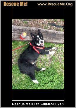 ― Arkansas Border Collie Rescue  rico (male) Border Collie Age: Puppy