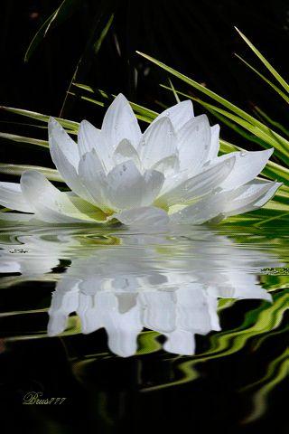 Les 228 meilleures images propos de lotus sur pinterest bouddhisme nymph as et belles fleurs - Fleur de lotus bouddhisme ...
