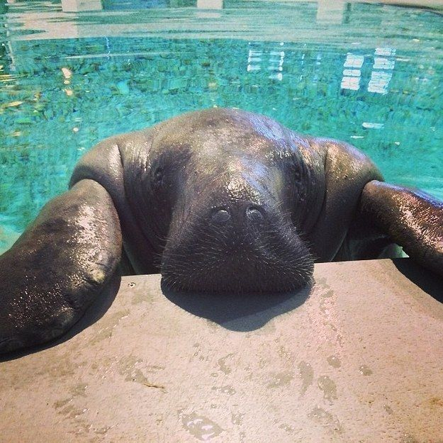 "19 Reasons Manatees are the Absolute Best Creatures in the Galaxy | They'll pop up to say ""I love you"" whenever you need to hear it."