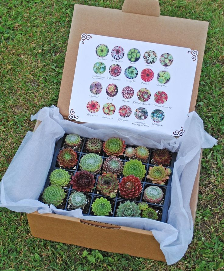 Chocolate box of Sempervivums.  I would love to get these instead of real chocolates!