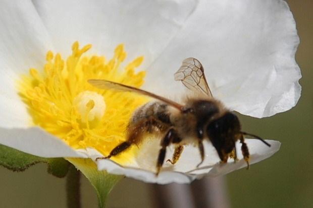 Une suite sur une abeille sur une fleur de ciste
