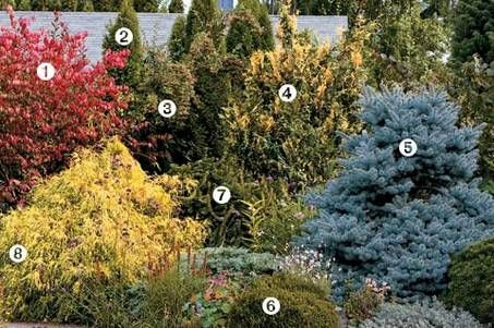 Conifers Brighten the Winter Garden 1.Euonymus alatus 'Compactus' (dwarf burning bush) 2.Thuja occidentalis 'Emerald Green, 3.Cotoneaster divaricatus (spreading cotoneaster) 4.'Aureovariegata' (variegated Alaska cedar, Nootka false cedar) 5.Picea 'Montgomery' (dwarf Colorado blue spruce) 6.'Mediterranean Pink' (Darley Dale heath) 7.Picea 'Pendula' (weeping Norway spruce) 8.'Golden Mop' (Sawara cypress)