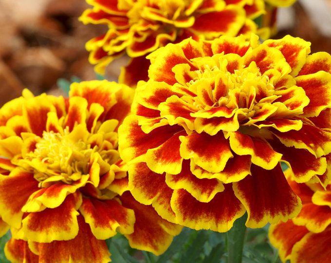 Pacific Beauty Mix Calendula Seeds USA Garden Flower Pot Marigold Seed for 2021