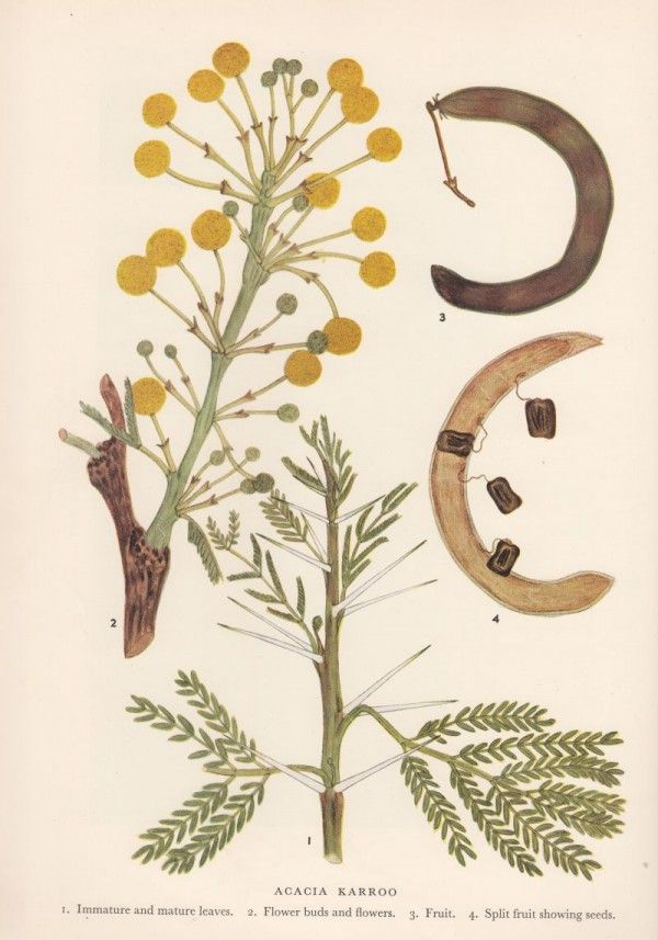Acacia Karroo Sweet Thorn Order Fabales Family Fabaceae Genus Vachellia Species V Karroo Acacia Nguni Cattle Species