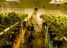 Federal marijuana policy is outdated, confusing | Northwest Opinion Columns | The Bellingham Herald