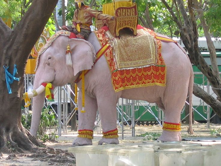 White elephants are honoured in Thailand as they are ...