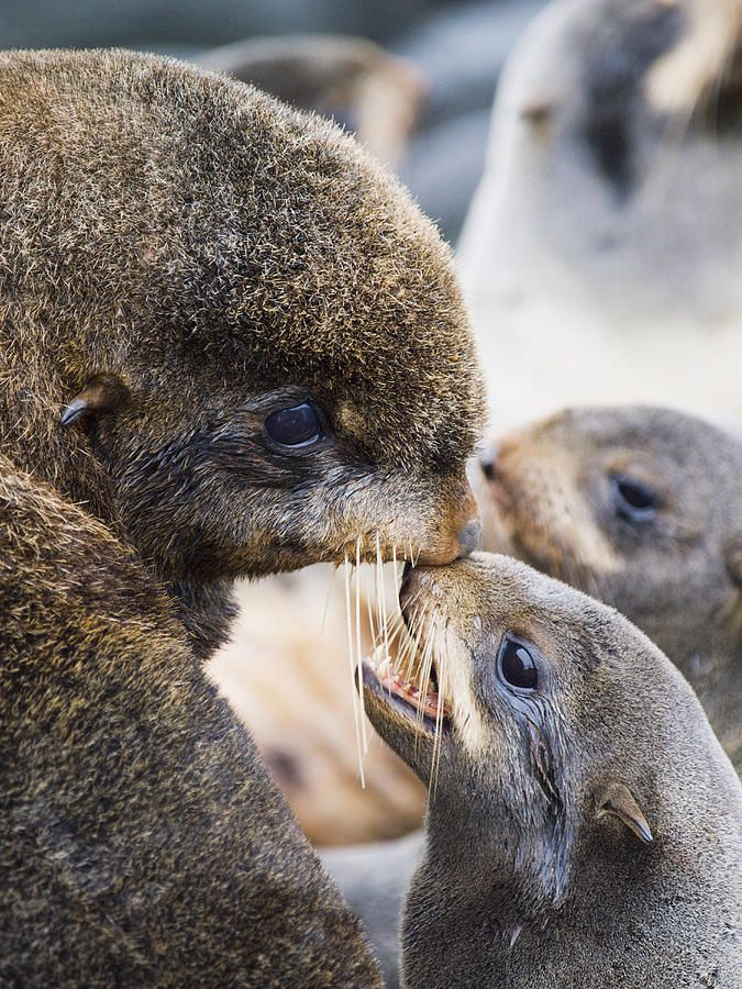 **Northern Fur Seals With Their Pups Photograph  -