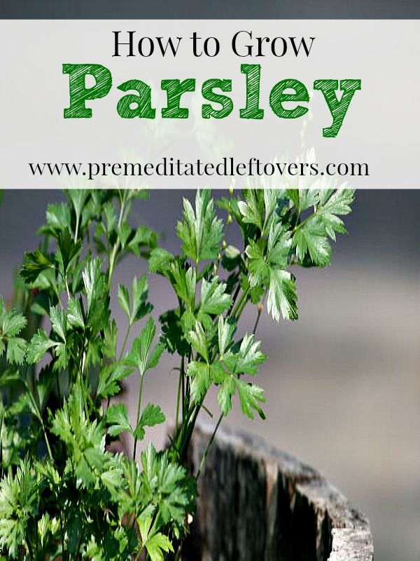 How to Grow Parsley- Parsley is easy to grow and can be used in a variety of recipes. Here are some helpful tips on how to grow parsley in your own garden.