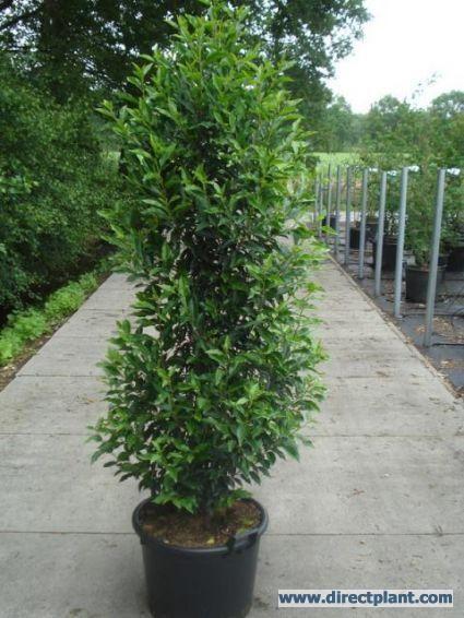 Portugese laurier (Prunus lusitanica 'Angustifolia')