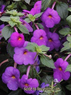 showers of colorful flowers makes achimenes a beautiful house plant find out how to care for achimenes indoors how to start plants from rhizomes