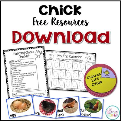 How to Hatch Chicks in the Classroom 101 - Free Tips and Resources to help you hatch chicks in your classroom as you study the life cycle of the chicken.