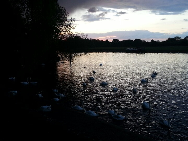 Beautiful swans @ River Thames in Windsor