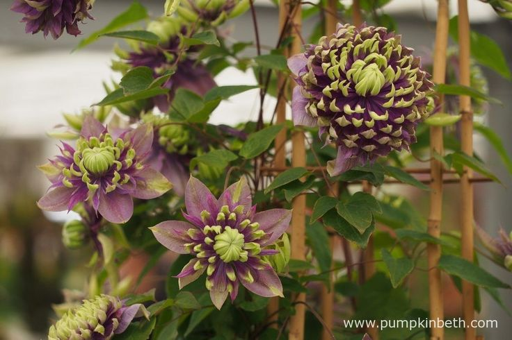 RHS Chelsea Flower Show Plant of the Year 2017 - Pumpkin Beth