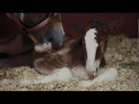 Budweiser Clydesdales Super Bowl 2013 Commercial - Behind The Scenes (Video)