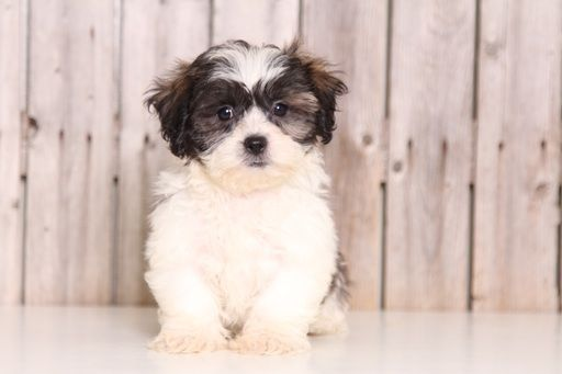 Zuchon puppy for sale in MOUNT VERNON, OH. ADN-43843 on PuppyFinder.com Gender: Female. Age: 9 Weeks Old