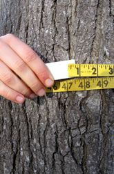 Measure a tree to find its approximate age. The circumference in inches is close to the age of the tree in years.