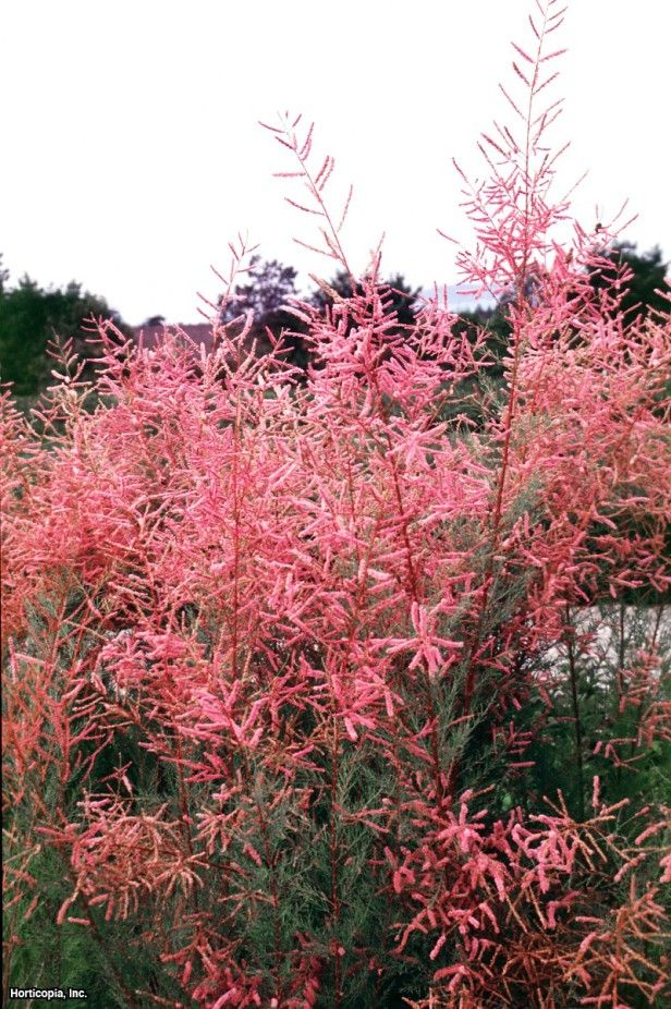 64 best images about non native trees and shrubs to for Gardening zones ontario