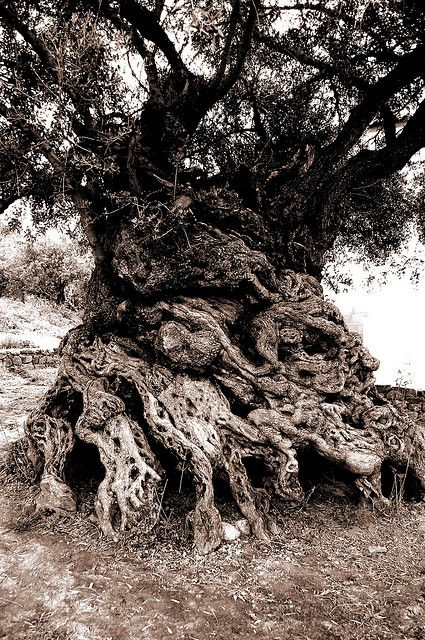 The Olive tree of Vouves, Crete  Reputedly 3000 years old....
