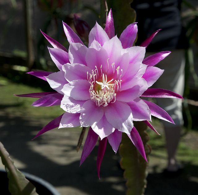 Cactus Epiphyllum Amoena