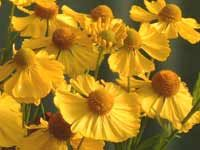 Helenium Die Blonde flowers from 1 Aug - somewhat sparsely petalled and uneven, 48mm with 20mm cone. egg yellow with green-yellow cone. 130mm x 37mm leaf, dark green, serrulate, lanceolate. *