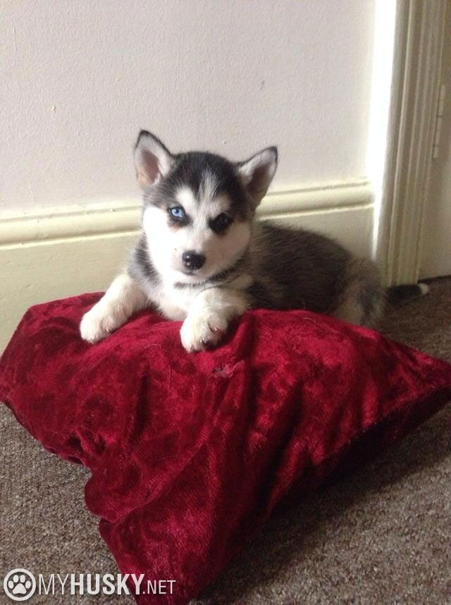 Siberian Husky puppy on his red bed
