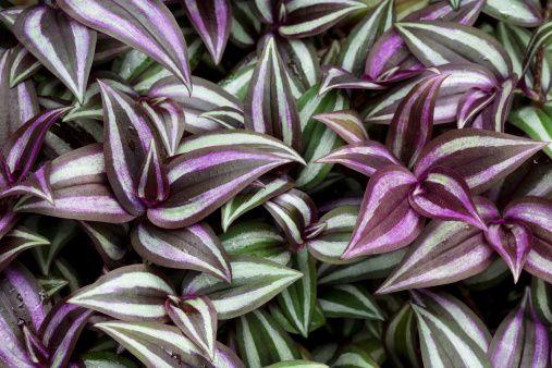 Colorido e altamente decorativa, capaz de torcer para o ambiente doméstico durante todo o ano. Vamos falar sobre Zebrina, uma planta rasteira perene, do México e pertencente à família de Commelinac…