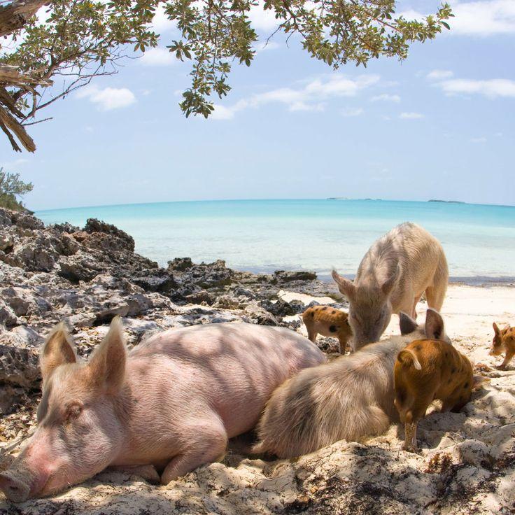 Pig Island Bahamas - Pig Island Exuma