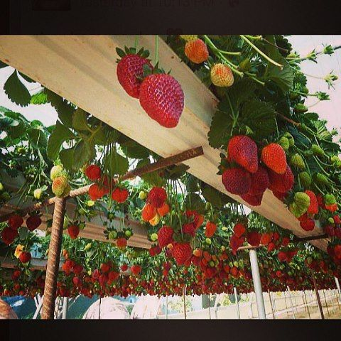 Gorgeous Hanging Strawberry Garden Good Ideas