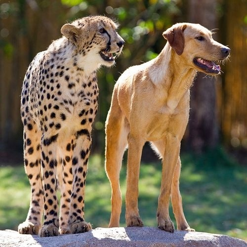 This week, Busch Gardens Tampa is celebrating a milestone anniversary for a very special relationship. Monday, April 16 marked the one-year anniversary of the first time park guests got to see an 8-week-old male cheetah cub and a 16-week-old female yellow Labrador puppy start to strike up a friendship that the parks animal experts expect to last a lifetime. animal-odd-couples