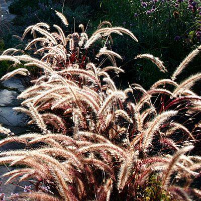 Purple fountain grass ( Pennisetum setaceum 'Rubrum')