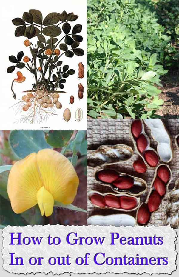 Welcome to living Green & Frugally. We aim to provide all your natural and frugal needs with lots of great tips and advice, How to Grow Peanuts In or out of Containers