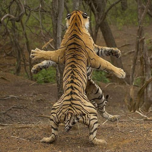 """geographicwild: """". Photography by @ (Rahul Sachdev). Two tigers fight it out to prove one's dominance over the other.  Looks like an Indian Goddess statue"""