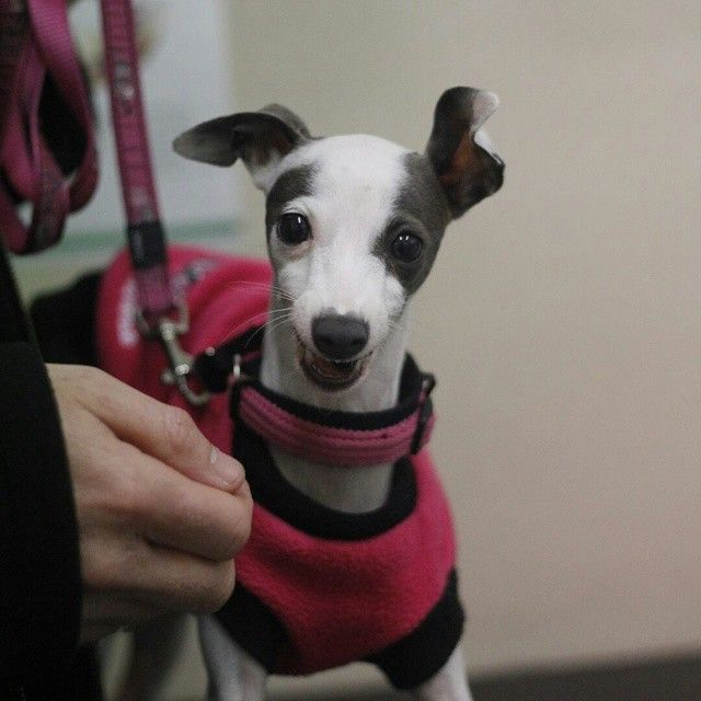 Izzy came in to have her stitches removed after surgery. What a #sweetheart #dogsofinstagram #dogsofsydney #puppy #instadog #italiangreyhound #vetvisit #vet #veterinarian #drbelindathevet