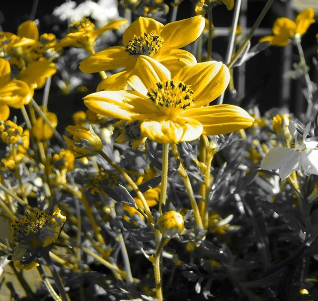 Another fun photo taken with my Fuji FinePix XP120. Like the rose in this feed It's in the advanced shooting mode, partial colour but this time it's yellow. More to come! #artisticphotos #filters #Fujifilm #fujicamera #FinePix #XP120 #yellowflowers #Fuji