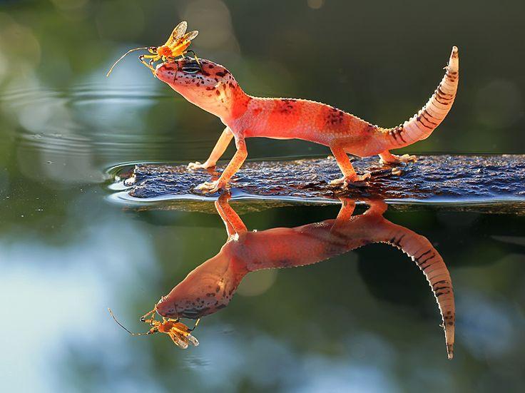 #gecko #lizard #reptile                                                                                                                                                     More