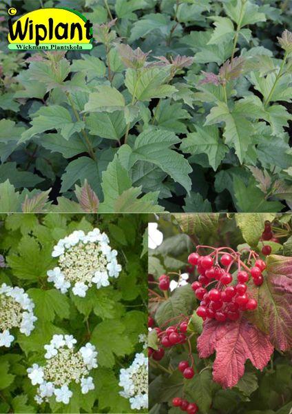 Viburnum trilobum 'Wentworth'®, Amerikanskt olvon. Vita blommor i juni-juli. Stora röda ätliga frukter på hösten. Vacker röd höstfärg. Höjd: 2 m. Zon III?, ej prövad hos oss. Bild: Boskoop Holland.