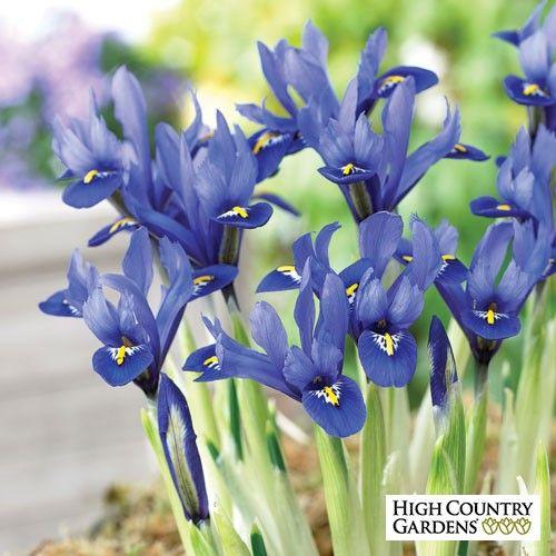 Yellow and Blue Iris reticulata Bulbs Harmony, Iris reticulata, Specie Iris Harmony