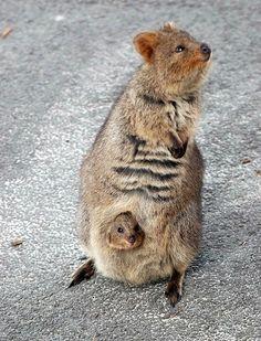 30 photos de quokkas, l'animal le plus heureux du monde - page 2