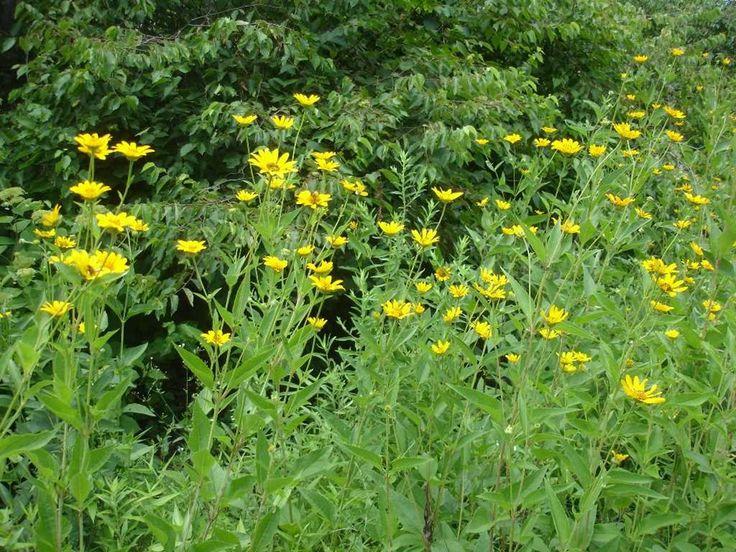 Heliopsis helianthoides Plants, Brassica, Herbs