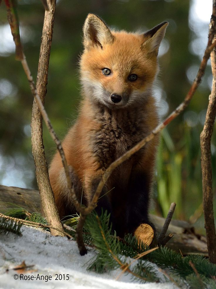 red fox kit | animal + wildlife photography