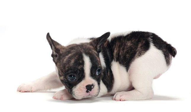 78+ ideas about Terrier Dog Breeds on Pinterest | Border ...