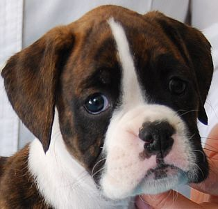 Flashy Brindle Boxer Puppy