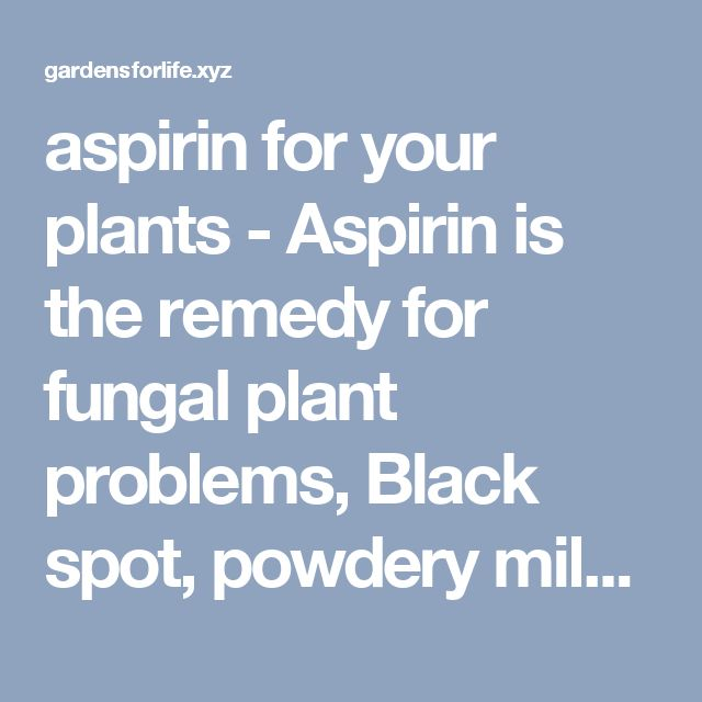 aspirin for your plants - Aspirin is the remedy for fungal plant problems, Black spot, powdery mildew, and rust are a terrible trio of fungi, which can attack and destroy your plants. Scientists have found that two uncoated aspirin tablets (325 milligrams each) dissolved in 1 quart of water and used as a foliar spray can thwart these diseases... 35 Pest, Disease and Weed Remedies-green and safe - Gardens For Life