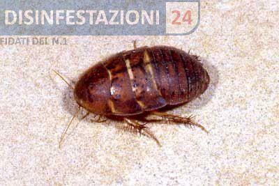#disinfestazione #scarafaggi #blatte #blatta #blatella #polyphagidae